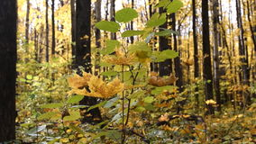 Autumn scenery in the forest. Autumn forest. Autumn scenery in the forest stock video