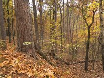 Autumn scenery, forest in east central Oklahoma. Fall view of oak and pine trees, extreme east central Oklahoma near the town of Heavener. Photo taken in stock image