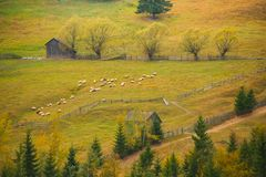 Autumn scenery landscape with sheep, colorful forest, wood fences and hay barns in Bucovina, Romania Royalty Free Stock Photos