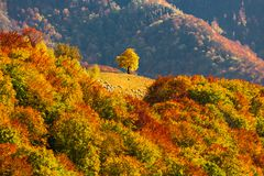 Autumn scenery with a lonely tree in a gap on a forest covered r. Idge in Apuseni mountains, Romania Stock Images