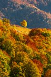 Autumn scenery with a lonely tree in a gap on a forest covered r. Idge in Apuseni mountains, Romania Royalty Free Stock Photography
