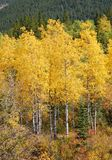 Autumn scenery in rockies. Autumn forests in rocky mountains, alberta, canada Royalty Free Stock Photos