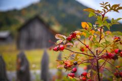 Autumn scenery with rosehip and an old hay barn in the background in Bucovina. Autumn scenery with rosehip and an old hay barn in the background in Prisaca Stock Images