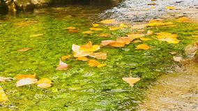 Autumn scenery with tree leaves floating on a pond.