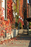 Autumn scenery. Wall covered by red ivy Stock Photos
