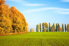Autumn scenery with winter wheat Royalty Free Stock Photos