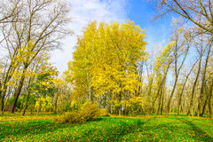 Autumn Scenery with Yellow Birches. Among Trees with Bare Branches on Green Grass with Fallen Yellow Foliage at Sunny Day Royalty Free Stock Images