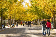 Autumn scenery, yellow Ginkgo biloba leaves, ginkgo Avenue Royalty Free Stock Photography