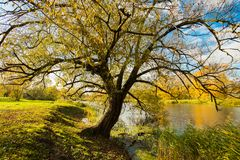 Autumn Scenic Landscape Of Old Tree Willow By River. Beautiful Autumn Scenic Landscape Of Old Tree Willow By River At Sunset Close Up stock image