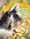 Autumn schnauzer dog Stock Images