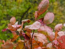 Autumn scummy leaf. With rain drops Royalty Free Stock Image