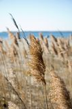 Autumn Sea Grasses Gone to Seed. Sea grasses in the autumn on a clear day. Shallow focus on middle plant royalty free stock photo