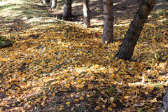 Autumn Season, árvores e folhas do amarelo Fotos de Stock Royalty Free