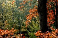 Autumn season. The yellow maple leafs told us it's autumn season Royalty Free Stock Photos
