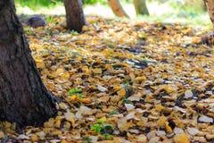 Autumn Season, alberi e foglie di giallo Immagini Stock Libere da Diritti