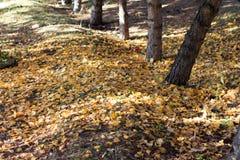 Autumn Season, alberi e foglie di giallo Fotografie Stock Libere da Diritti