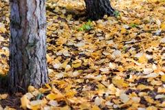 Autumn Season, arbres et feuilles de jaune Photos stock