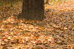 Autumn season background red and yellow leaf falling Royalty Free Stock Photography