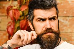 Autumn season and beauty concept. Guy posing near red leaves on wall. Macho with beard. Enjoys fall time. Man with tricky face touched moustache on autumn ivy stock images