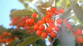 Autumn Season. Branch of ripe, red mountain ash among green leaves, swaying in the wind hanging on a tree. Close-up. stock video footage
