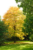 Autumn season- Cercidiphyllum tree Stock Photography