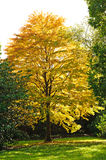Autumn season- Cercidiphyllum tree Stock Image