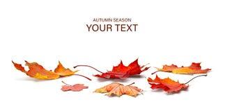 Free Autumn Season Concept, Maple Leaf Isolated On White Background Royalty Free Stock Photo - 161004585