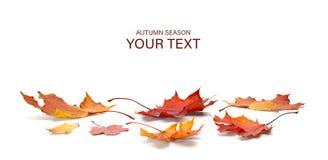 Autumn season concept, maple leaf isolated on white background