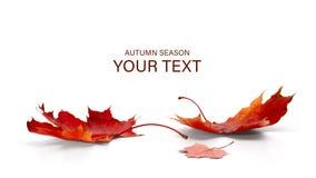Autumn season concept, maple leaf  on white background