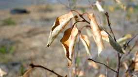 Autumn Season. Dry yellow leaves swaying in the wind on branch of small tree. Nature background. Copy space. Close-up. stock footage