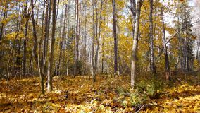 Autumn season in forest. Leaves fall from trees in autumn forest stock video footage