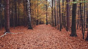 Autumn season november. Walking pathway in fall forest with slowly swaying branches in the wind and falling leaves on stock video footage