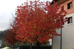 Beautiful View of read leafs tree on autumn season. Autumn season red leafs tree in Spain Europe Stock Images
