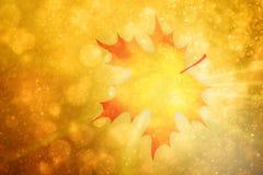 Autumn season single maple leaf background Stock Photo