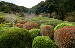 Autumn season,tea tree and plants in the japanese garden.  Royalty Free Stock Photo