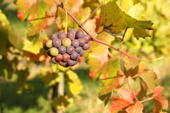 Autumn season in vineyard Royalty Free Stock Image