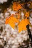Autumn season warm sun backlight. Maple orange leaves illuminated by a beautiful smooth warm sun light stock photography