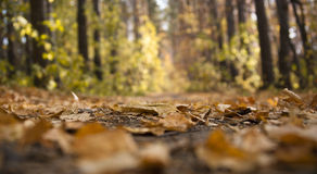 Autumn season. Yellow fallen leaves on a forest path Stock Photo