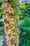 Autumn seasonal nature background a birch tree trunk growing leaves in many different vivid colors. A autumn seasonal nature background a birch tree trunk stock images