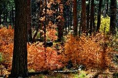 Autumn Sedona Forest Images stock