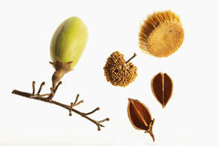Autumn seeds and pods. Seeds and pods from the trees in the fall Stock Image