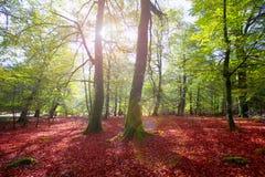 Autumn Selva de Irati山毛榉密林在Navarra比利牛斯西班牙 图库摄影