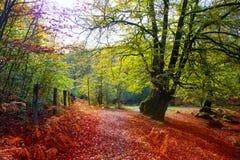 Autumn Selva de Irati山毛榉密林在Navarra比利牛斯西班牙 库存图片