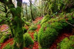Autumn Selva de Irati山毛榉密林在Navarra比利牛斯西班牙 免版税库存照片