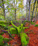 Autumn Selva de Irati山毛榉密林在Navarra比利牛斯西班牙 库存照片