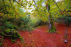 Autumn Selva de Irati山毛榉密林在Navarra比利牛斯西班牙 免版税库存图片