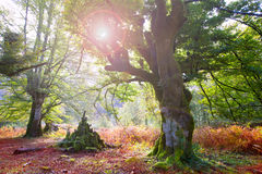 Autumn Selva de Irati beech jungle in Navarra Pyrenees Spain Stock Image