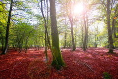 Autumn Selva de Irati beech jungle in Navarra Pyrenees Spain Royalty Free Stock Photos