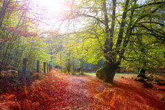 Autumn Selva de Irati beech jungle in Navarra Pyrenees Spain Stock Photography