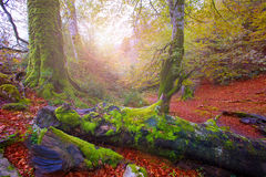 Autumn Selva de Irati beech jungle in Navarra Pyrenees Spain Stock Images